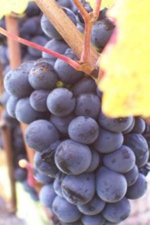 JR Pinot grapes.jpg