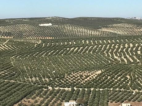 spanish olive trees.jpg