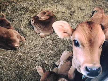 calfs.jpg
