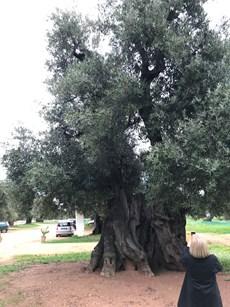 old olive tree.jpg (1)