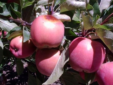 burnt apples.JPG