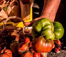 Ugly Tomatoes.jpg