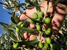 ripening olives.jpg