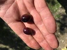 ripened olives.jpg