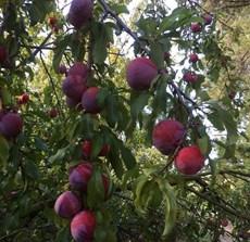 torwick plums.JPG