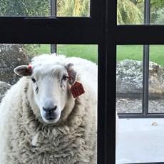 ev sheep.jpg