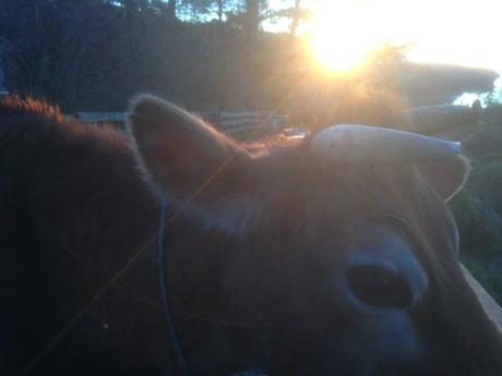 morning cow.JPG