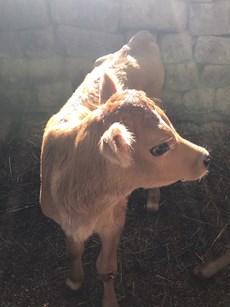 new baby calf2.jpg