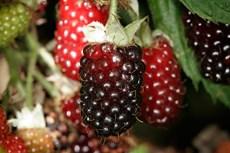 Boysenberries public domain.jpg