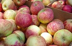 gravenstein apples.jpg