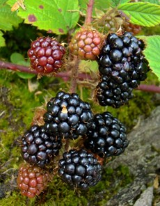 blackberries public domain.jpg