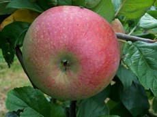 Peasgood Nonsuch Apples Public Domain.JPG