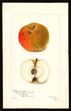 Boskoop apple public domain.jpg