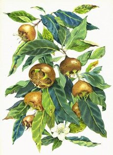 medlar watercolor illustration.jpg