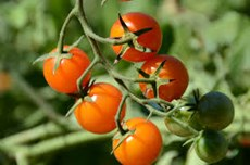 cherry tomatoes public domain.jpg (1)