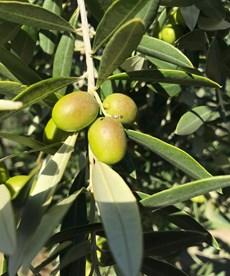 april 11 olive branch.jpg