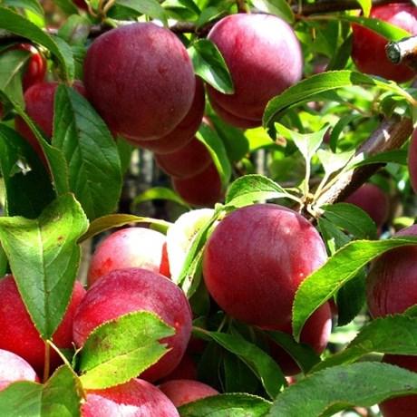 wilsons early plums internet file.jpg