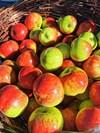 hetlina apples otago organics.jpg