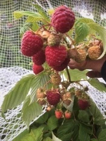 Ettricks Raspberries.jpg (1)