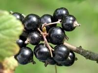 black-currant-300x225.jpg