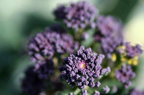 purple broccoli.jpg