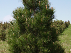 Pine_in_christmas_tree_plantation.png